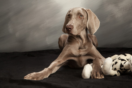 plush toy: Grey weimaraner dog laying down on black cloth, grey background, straight on view with head slightly turned, black and white plush toy under right paw