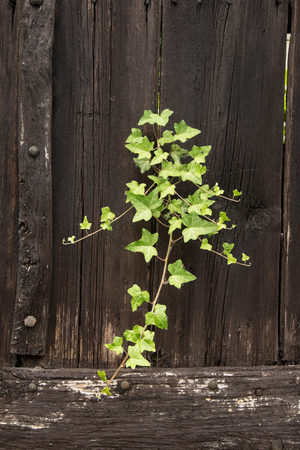 ivy vine: Ivy vine growning through a gap in a dark colored, rustic wooden fence