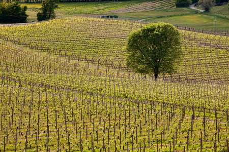 cropland: Rows of vineyards on rolling hills capturing the different exposures to the sun