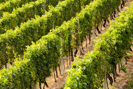 deepness: Detail of rows of vineyards, view from above in a geometric composition