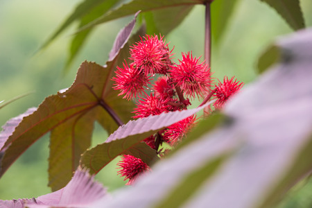 Spiny, hot red and fuchsia-colored flowers of the castor plant with red-veined leaves