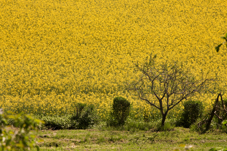 soft peak: Field of yellow rapeseed flowers with some small plants and a tree on the field border