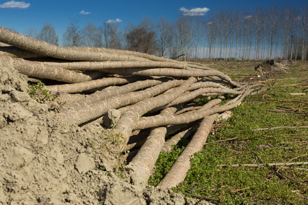 deepness: starck of young poplar trees ready to be transplanted