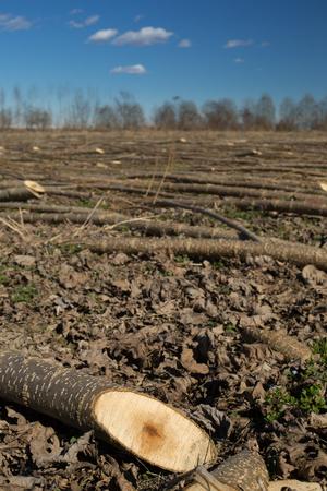 felled: young poplar trees just cut