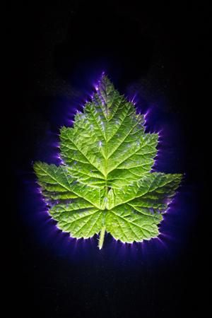 葉を通過電流のキルリアン効果 写真素材