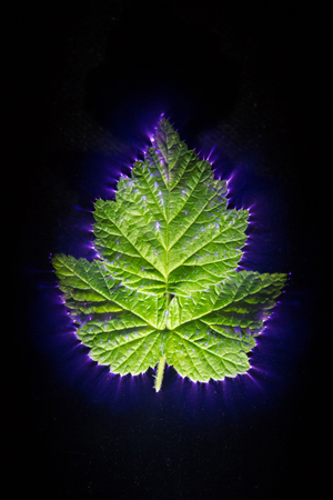 kirlian effect of electric current passed through a leaf