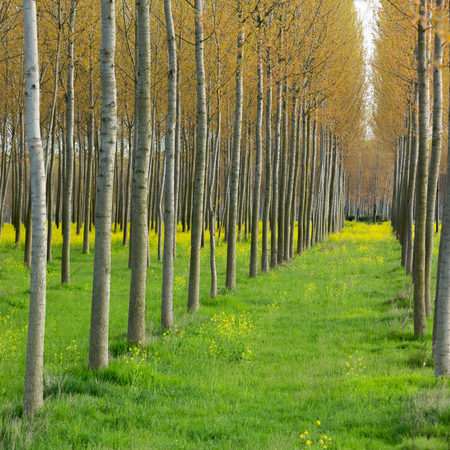 deepness: Yellow flowers between the poplars in early spring, side perspective view Stock Photo