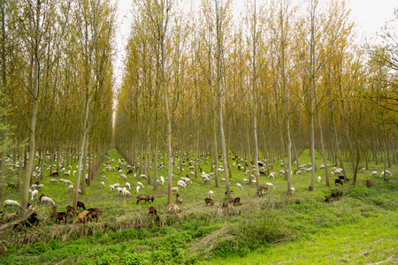 Flock of sheep goats and donkeys in the middle of a plantation of poplars Stock Photo