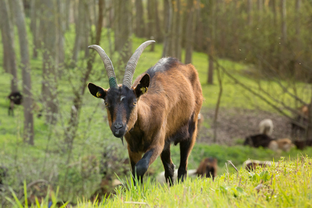 Brown goat walking towards observer