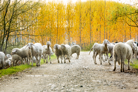 Flock of sheep moving on dirt road