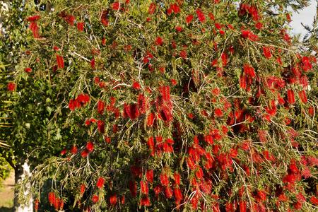 Red Australian bottlebrush, Callistemon, many flowers on some branches Stock Photo