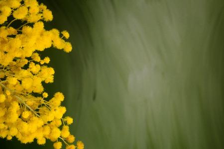 Silver wattle bouquet  against green backround, closeup, copyspace