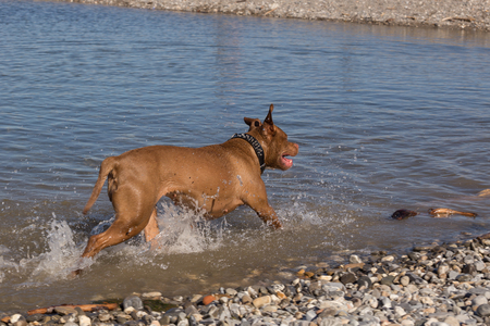 Dog running by the sea making splashes in the water, back view Banco de Imagens