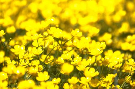 Yellow flowers field, blurred image