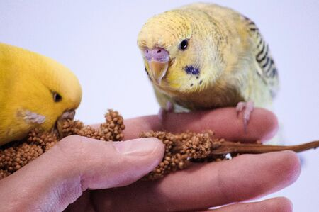 Budgies eating millet sitting on a hand