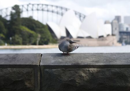 Australian Crested Pigeon in Sydney, with opera house in the background