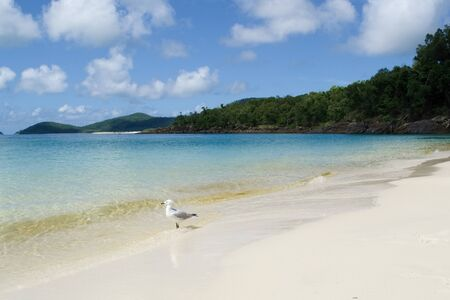 seagull at Whitehaven Beach, Whitsundays Australia