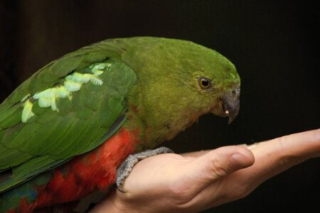 Curious Australian King-parrot (Alisterus scapularis) is being fed from the hand, seen near Apollo Bay on the Grat Ocean Road, Victoria - Australia.