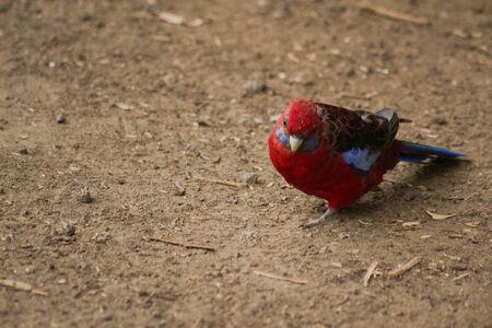 Crimson Rosella Parrot in Queensland Australia Stock Photo