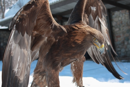 The photo shows the golden eagle  스톡 콘텐츠