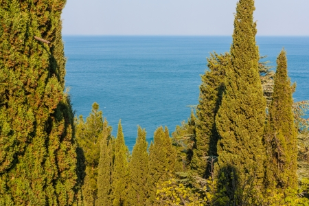 The photo shows the cypress trees on the background of the sea  Stock Photo