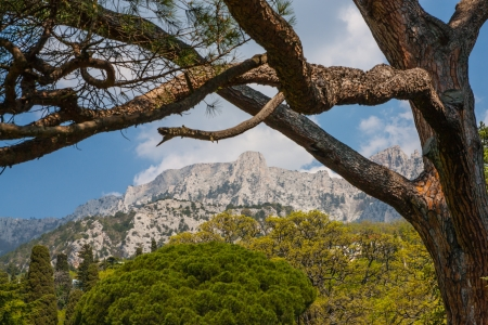The photo shows the pine on a background of mountains in Yalta