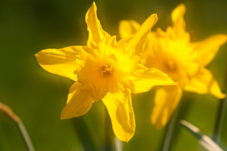 the blossom of narcissus Stock Photo
