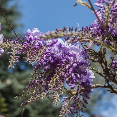 the blossom of wistaria Stock Photo