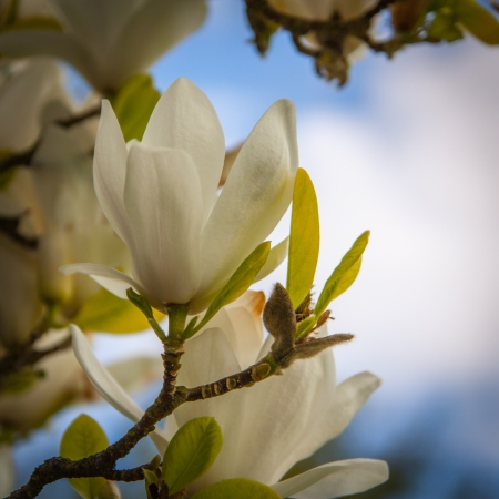 The flowering tree - white flower. Stock Photo