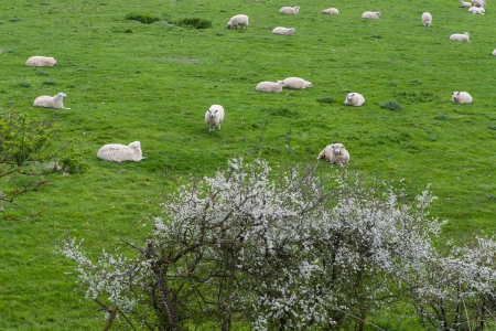 The photo shows the sheeps in the pasture.