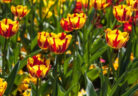 The photo shows the tulips. Stock Photo