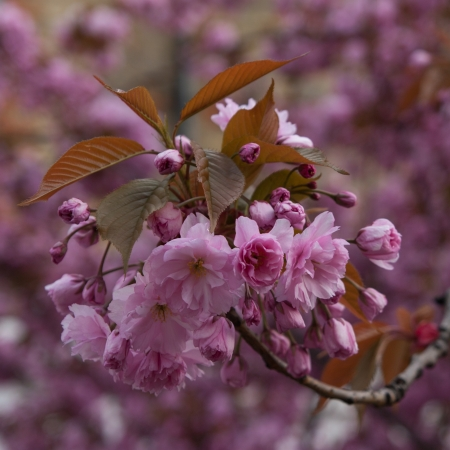 The photo shows the flowering tree. Stock Photo