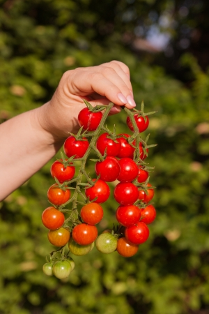 The photo shows the two branches of tomatoes.