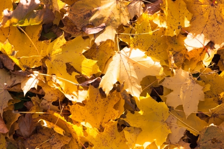 The photo shows the yellow maple leaves on the ground.