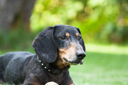 Pictured at the portrait of dachshund. Stock Photo