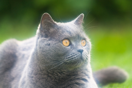 Pictured at the British breed cat. Stock Photo