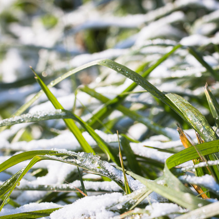 Pictured on the green grass under the first snow fell in the year.