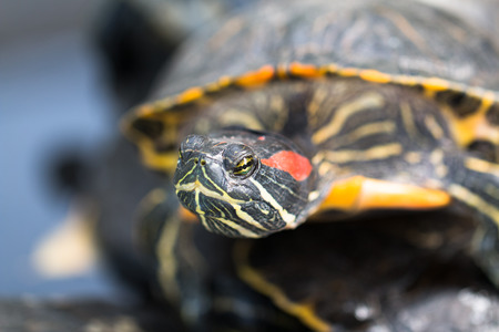 The photo shows freshwater turtle.