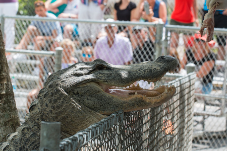 The photo shows an alligator feeding at the farm. Stock Photo
