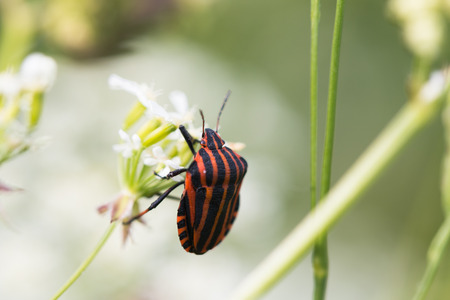Summer picture with striped beetle closeup. Stock Photo