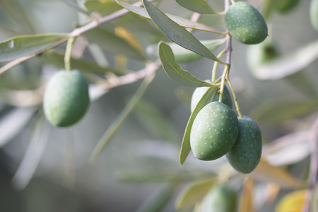 The photo shows  the green olives on the tree. Stock Photo