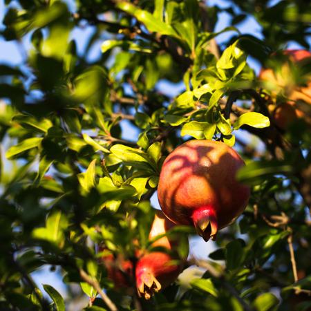 Photo shows the pomegranate.