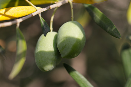 Photo shows the two green olives on the tree. Stock Photo