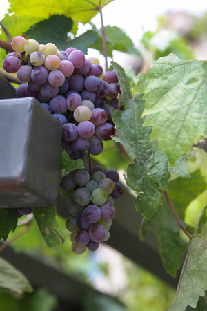 Photo shows the bunch of grapes. Stock Photo