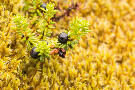 The photo shows a plant with black berries against a background of yellow moss.