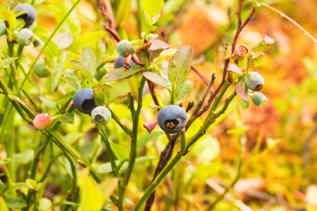 The photo shows a forest blueberry.