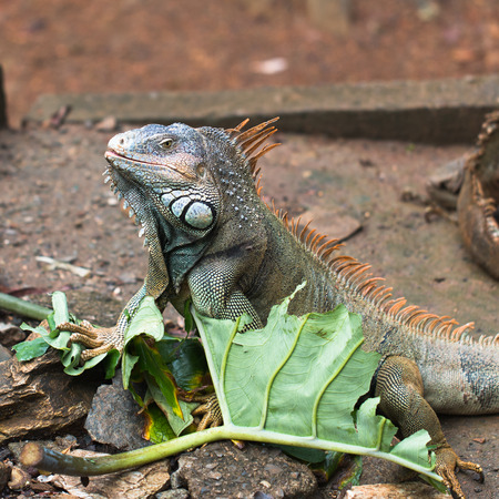In the photo you see an iguana on the island of Roatan, Honduras.