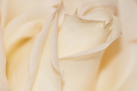 In the photo you see a cream rose close-up. 스톡 콘텐츠