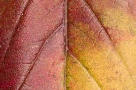 In the photo you see the beautiful texture of a leaf of a tree in the autumn.