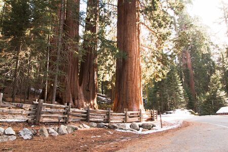 In the photo you see a giant sequoia in Sequoia National Park in California. 스톡 콘텐츠